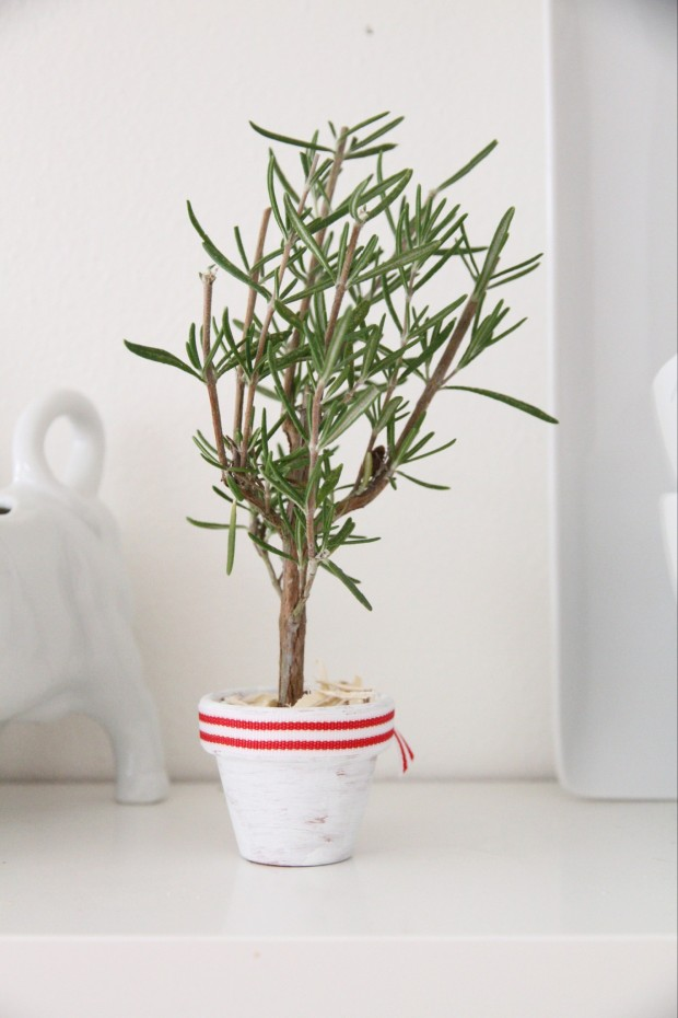 Rosemary Christmas tree in a white pot with a red and white ribbon around the pot.