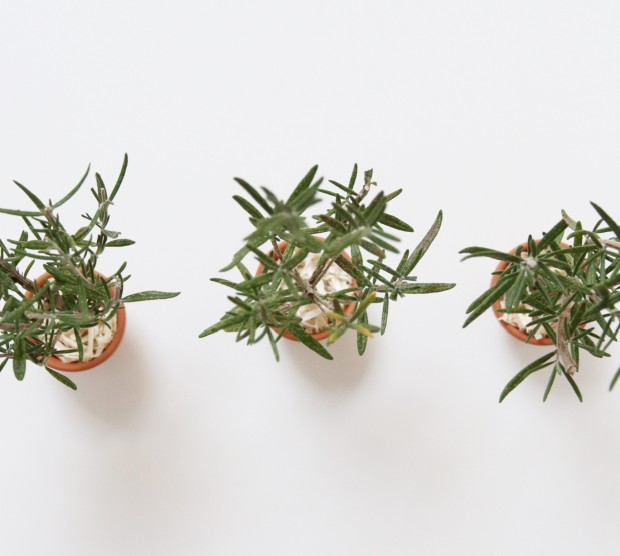 Three posts of DIY rosemary Christmas trees.