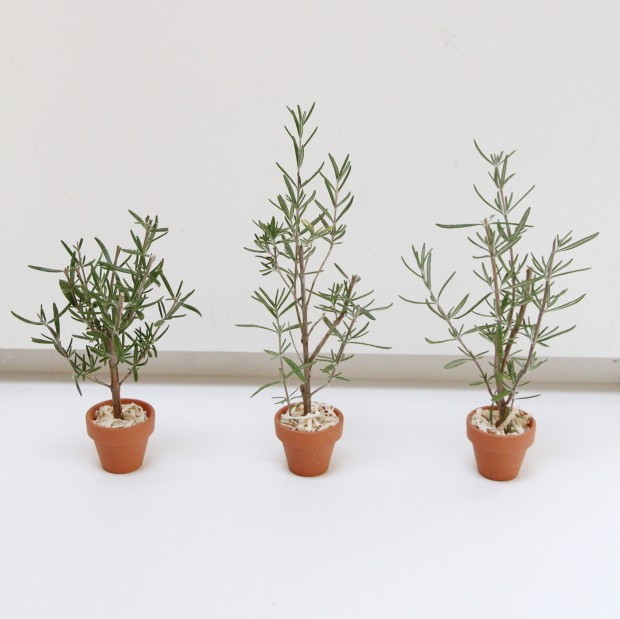 Three pots of trees on the white counter.