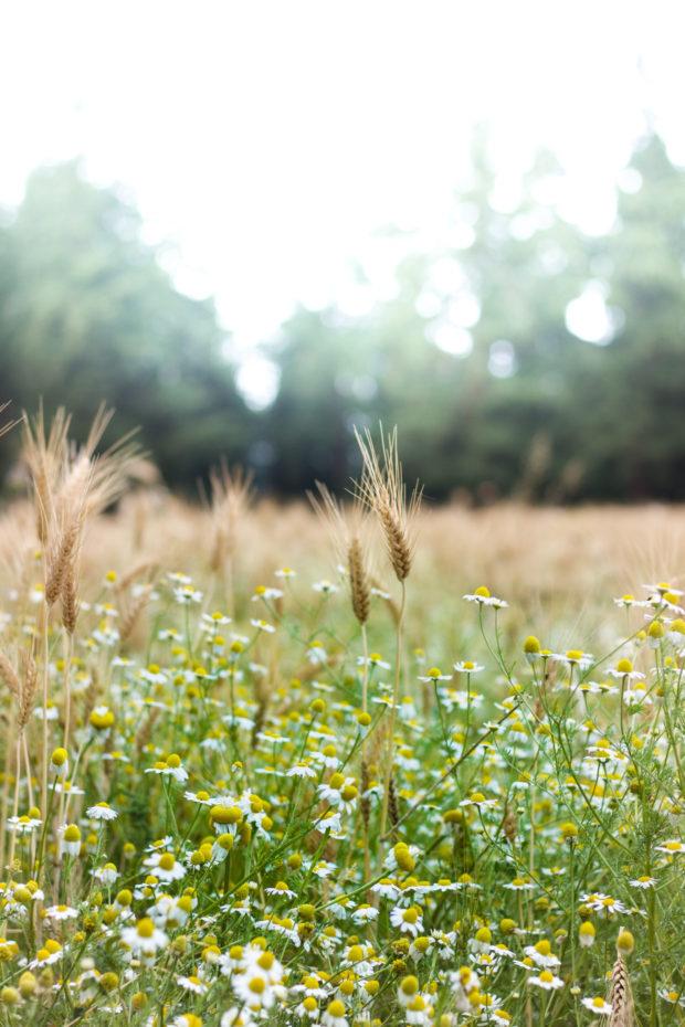 wheatagain