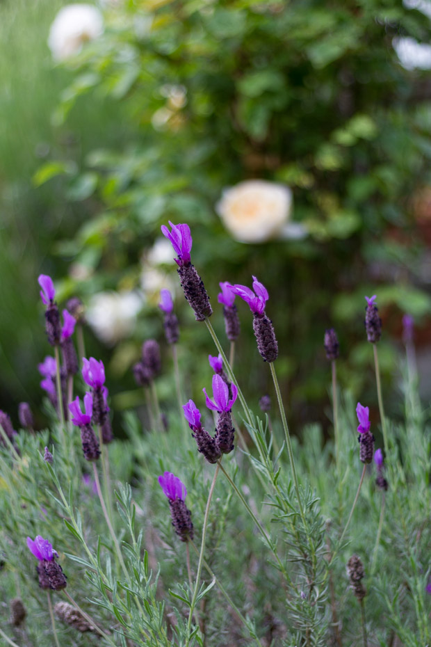 Purple flowers growing in yard.